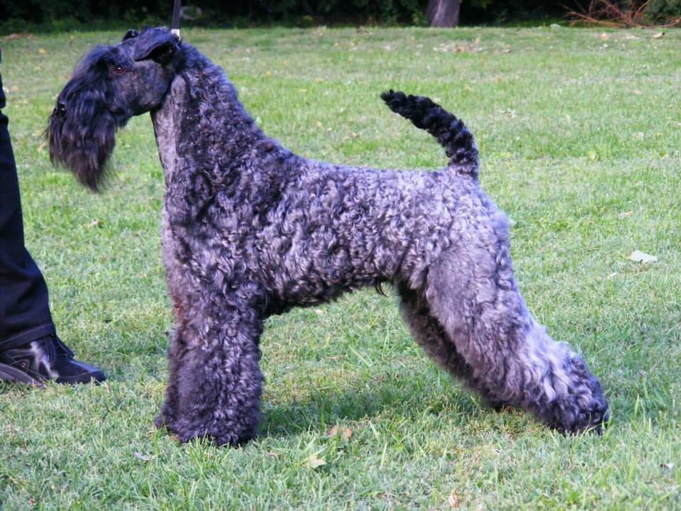 Керри-блю-терьер (41 фото): описание породы. виды стрижек голубых собак. содержание щенков