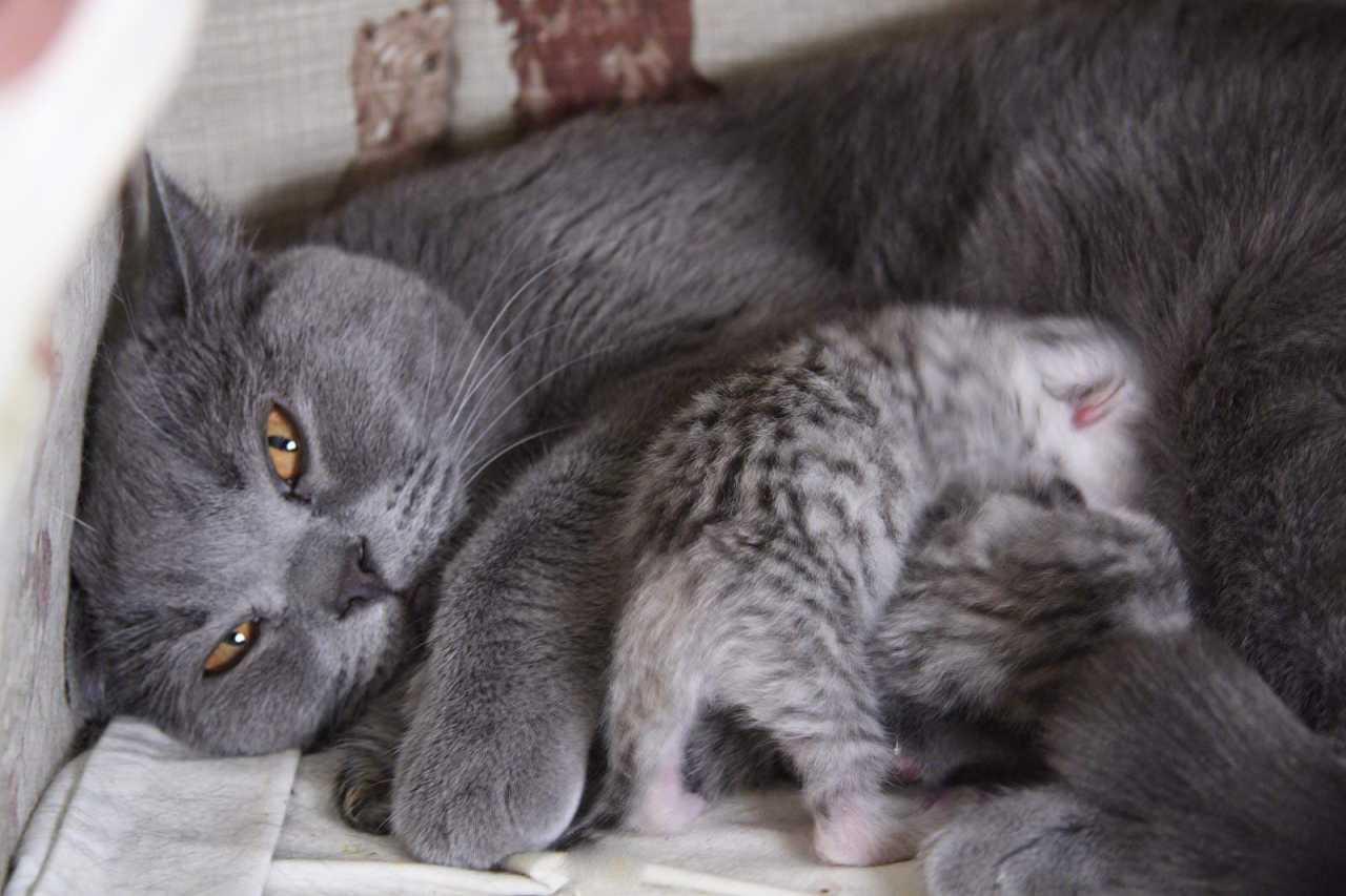 Сколько длятся схватки у кошки | как понять и через сколько родит