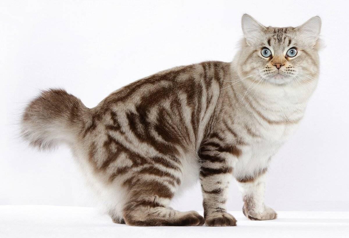 Американскиепороды кошек