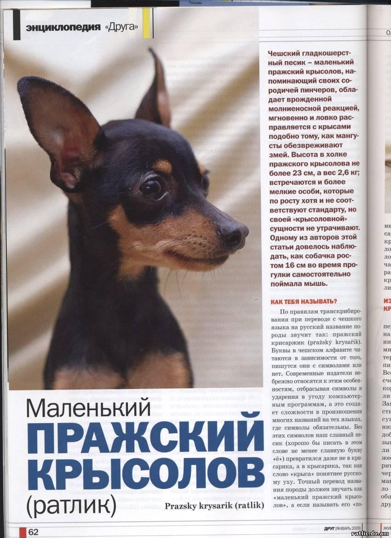 Русский той терьер: описание породы, характер, уход и содержание, кормление, история