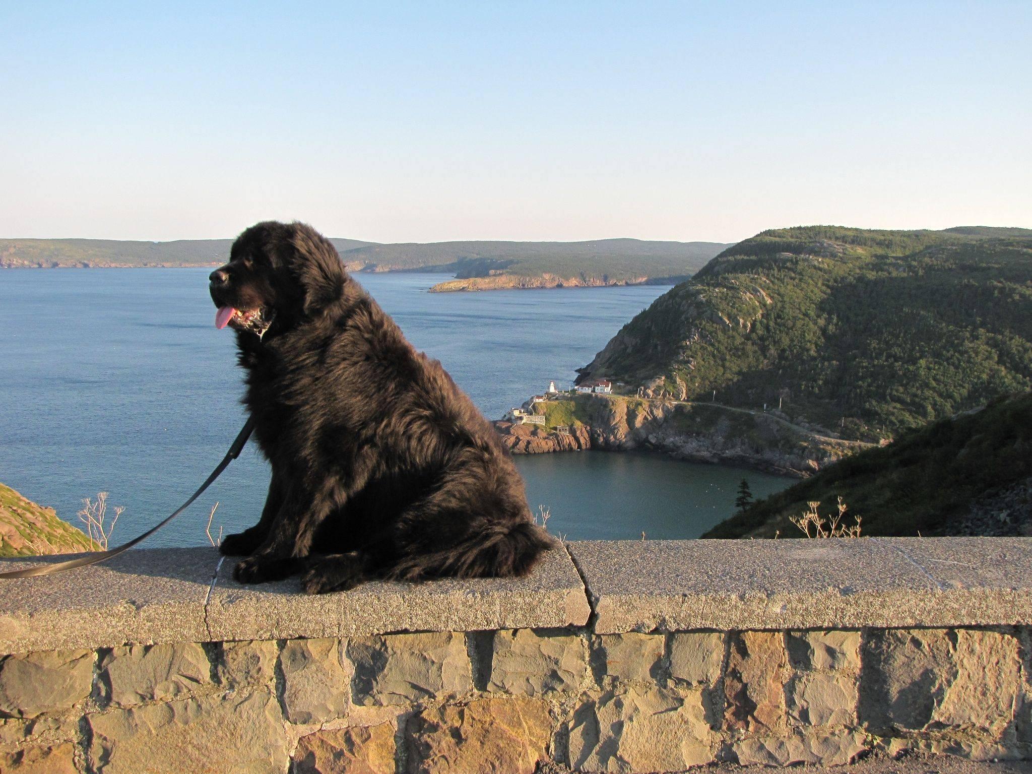 Всё о породе собак ньюфаундленд - описание, характеристика, фото ньюфаундлендов и видео