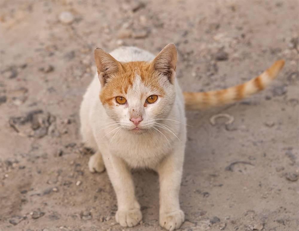 Аравийский мау: описание породы кошек, история, уход, цена
