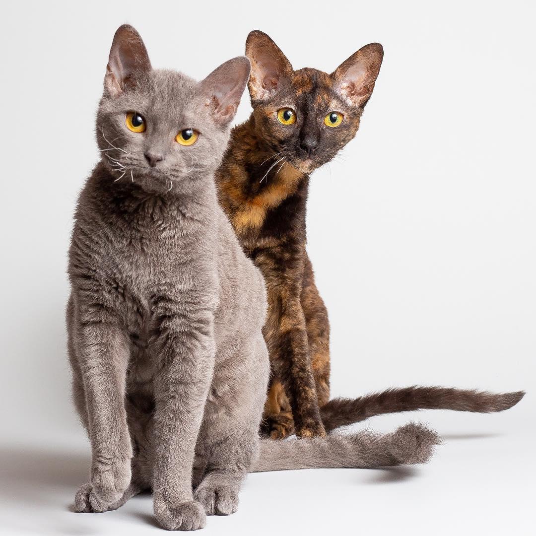 Немецкий рекс: фото кошки, цена, описание породы, характер, видео, питомники