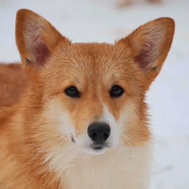 Породы собак, похожие на лис - породы лисьих собак, домашние лисицы. - petstime.ru