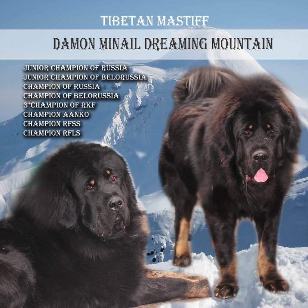Тибетский мастиф: фото, описание, характер, содержание, отзывы