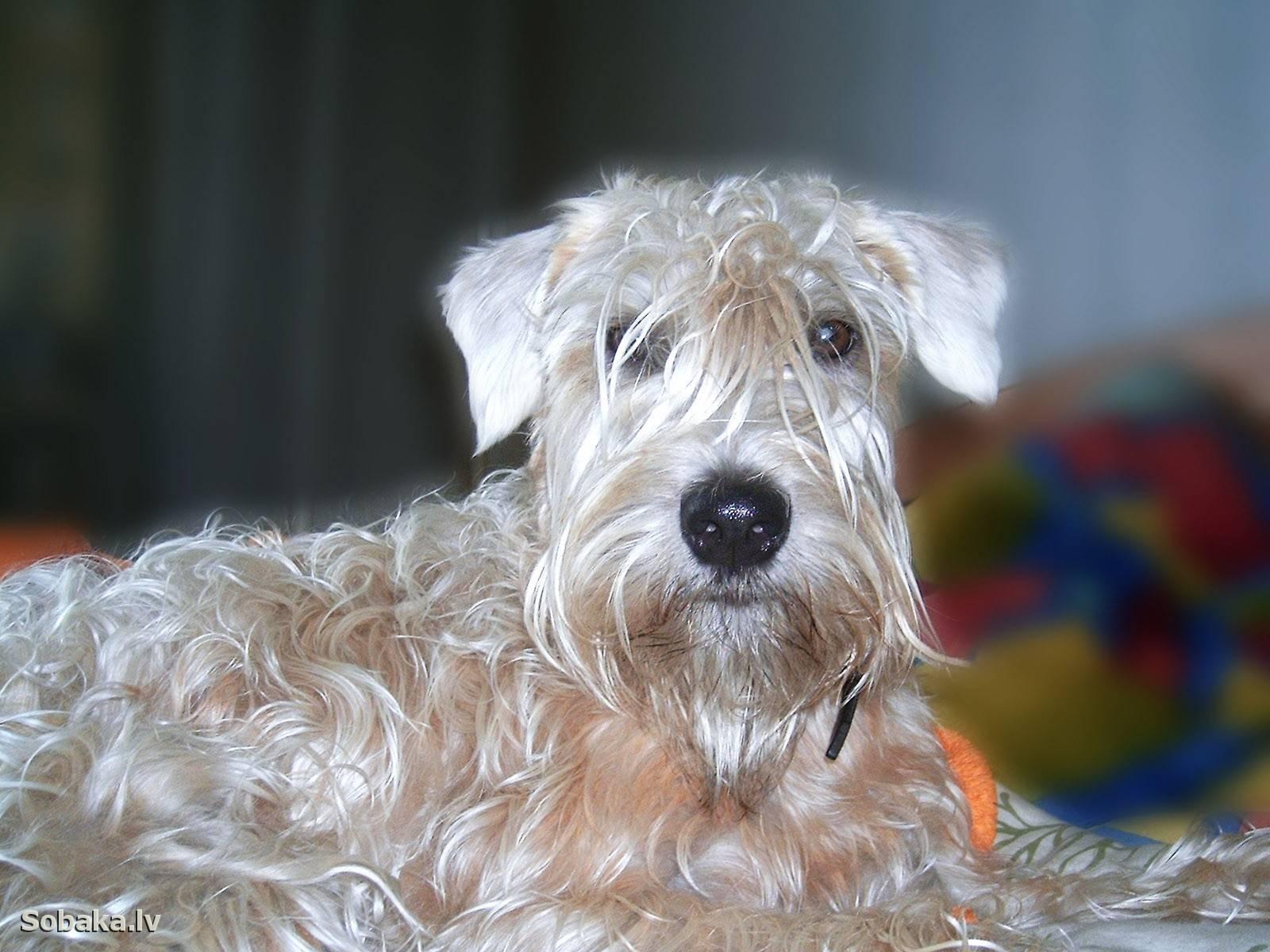 Ирландский мягкошерстный пшеничный терьер. о породе собак: описание породы ирландский мягкошерстный пшеничный терьер, цены, фото, уход