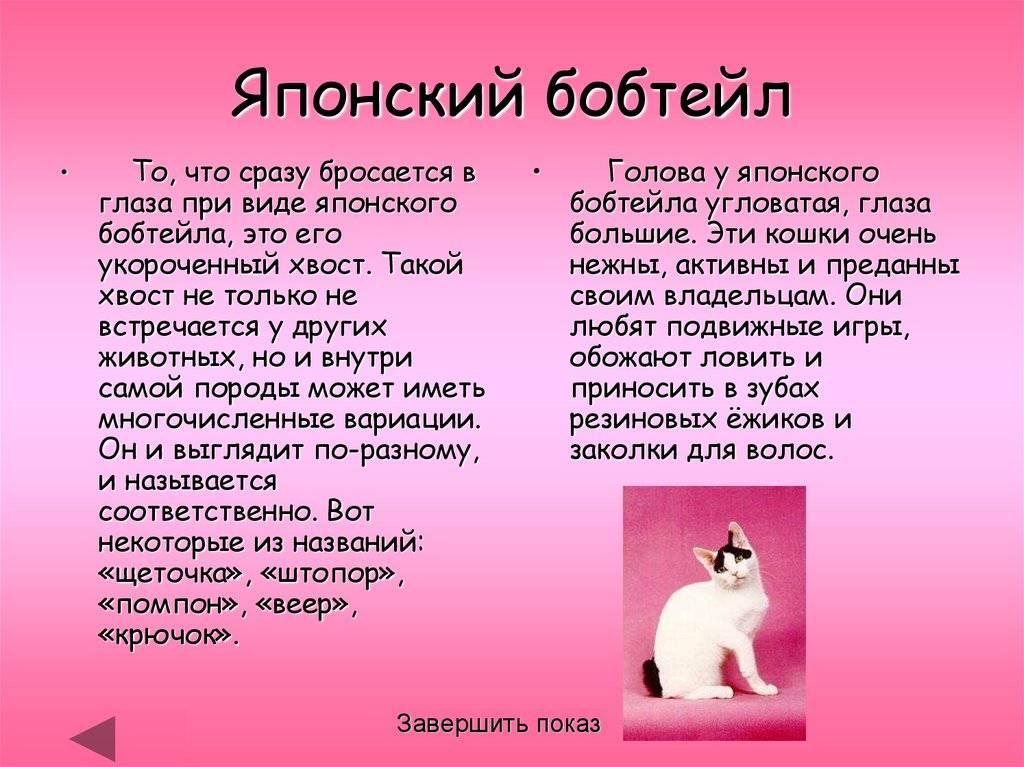 Японский бобтейл кошка: подробное описание, фото, купить, видео, цена, содержание дома