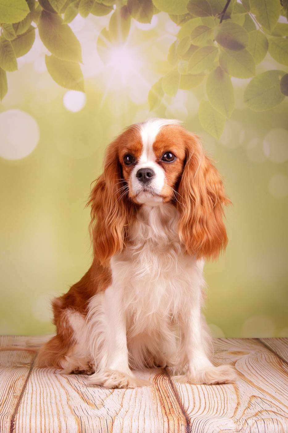 Кавалер-кинг-чарльз-спаниель: описание породы собак с фото и видео
