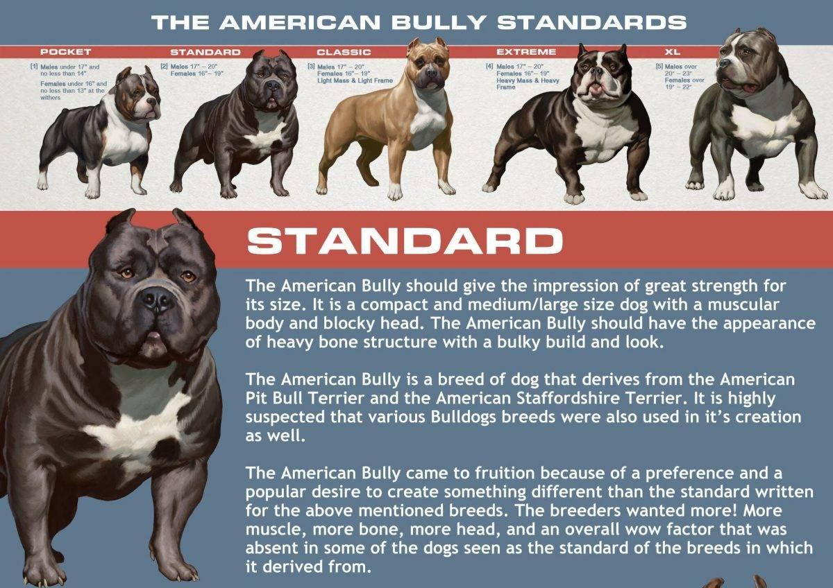 Американский булли: описание и характер породы | наши лучшие друзья