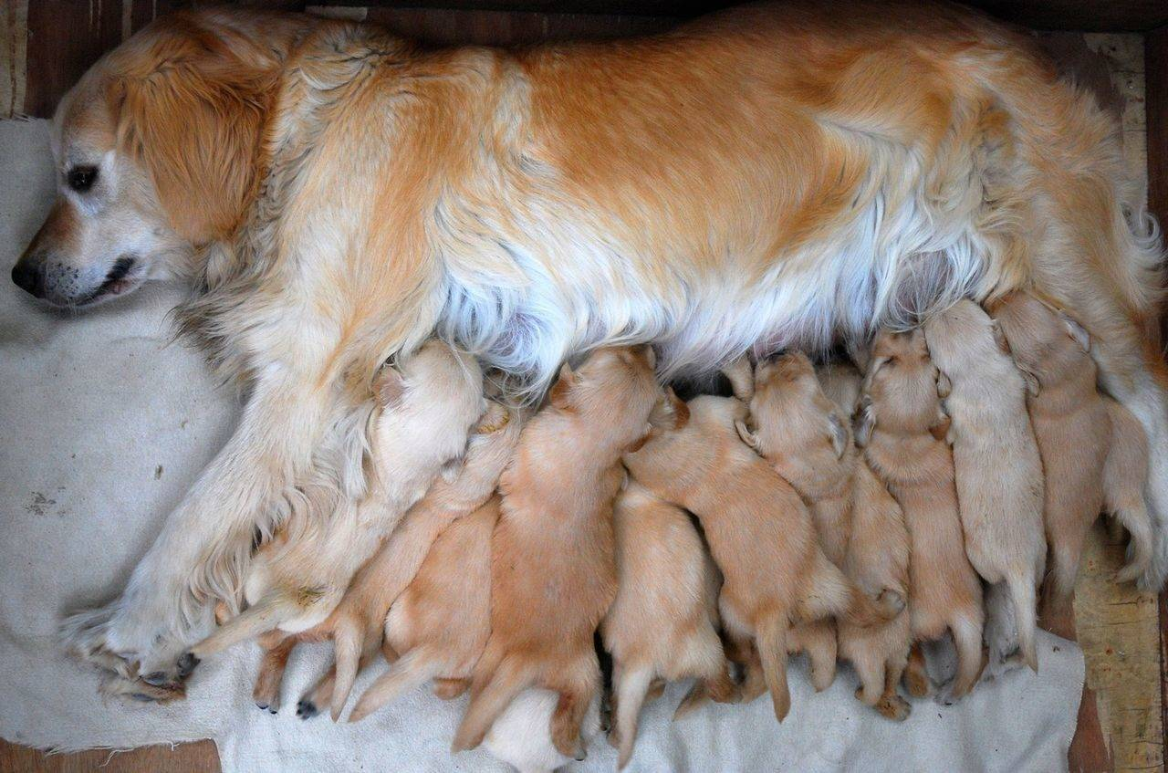 Сколько длится беременность у собак и как ухаживать за животным?