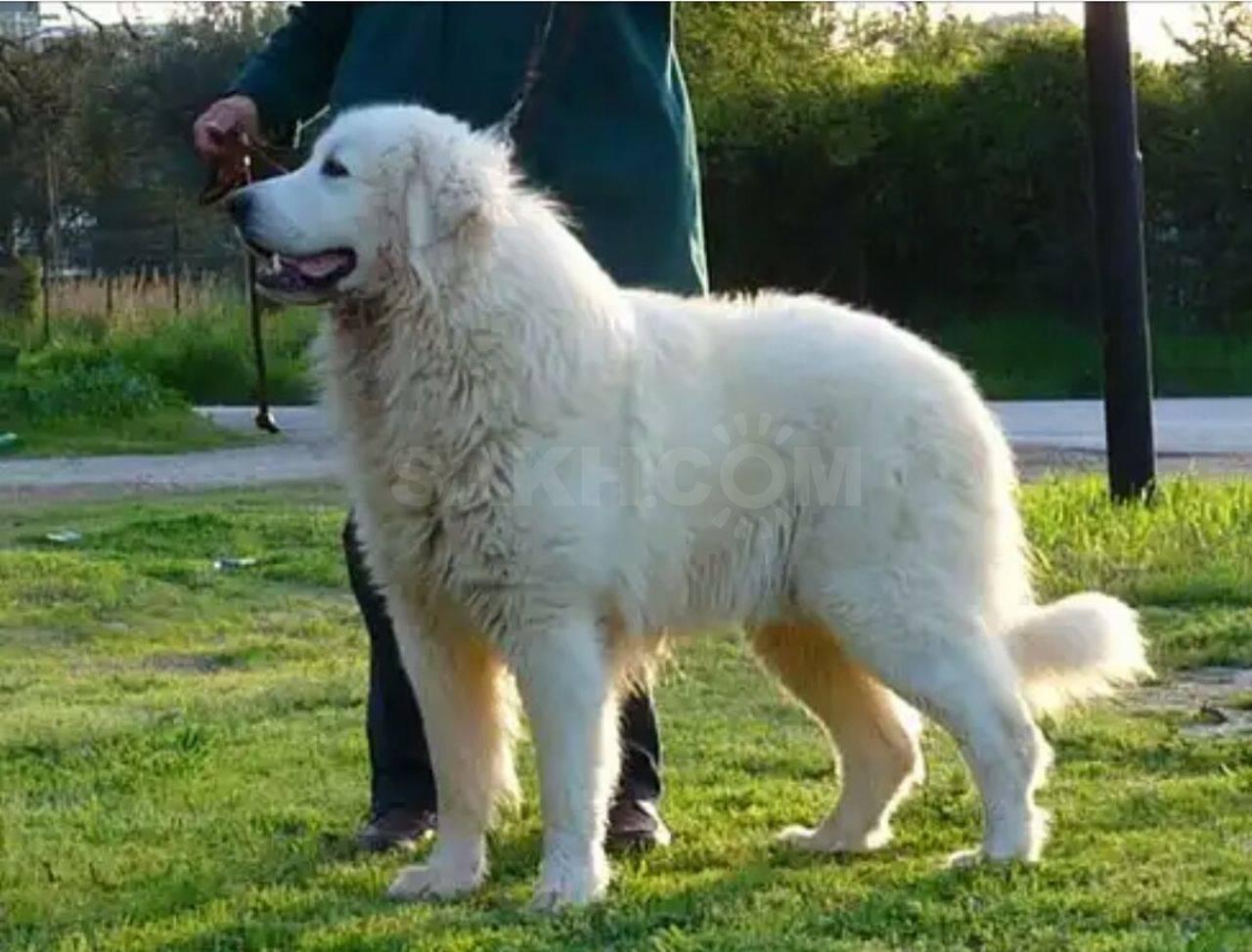 Маремма-абруццкая овчарка (итальянская) - фото и описание породы