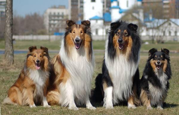 Шелти: описание, характер собаки, питомники, уход, фото и видео