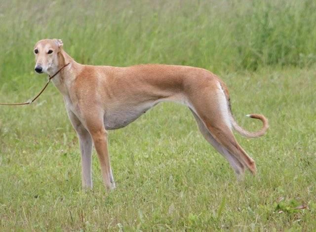 Борзая собака: история возникновения и типы породы, внешние особенности, уход за животным
