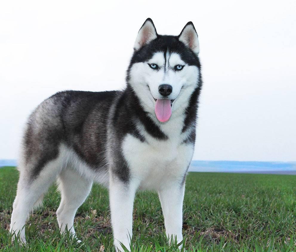 Сибирский хаски — описание породы собаки от а до я