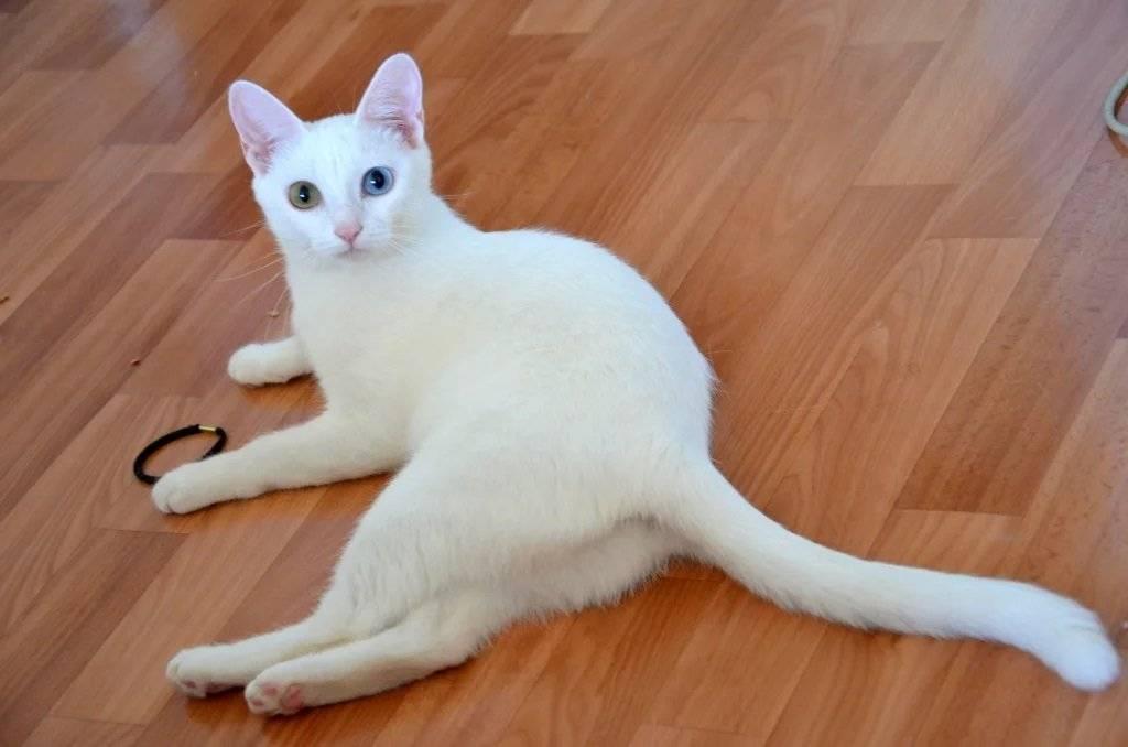 Турецкая ангора: все о кошке, фото, описание породы, характер, цена
