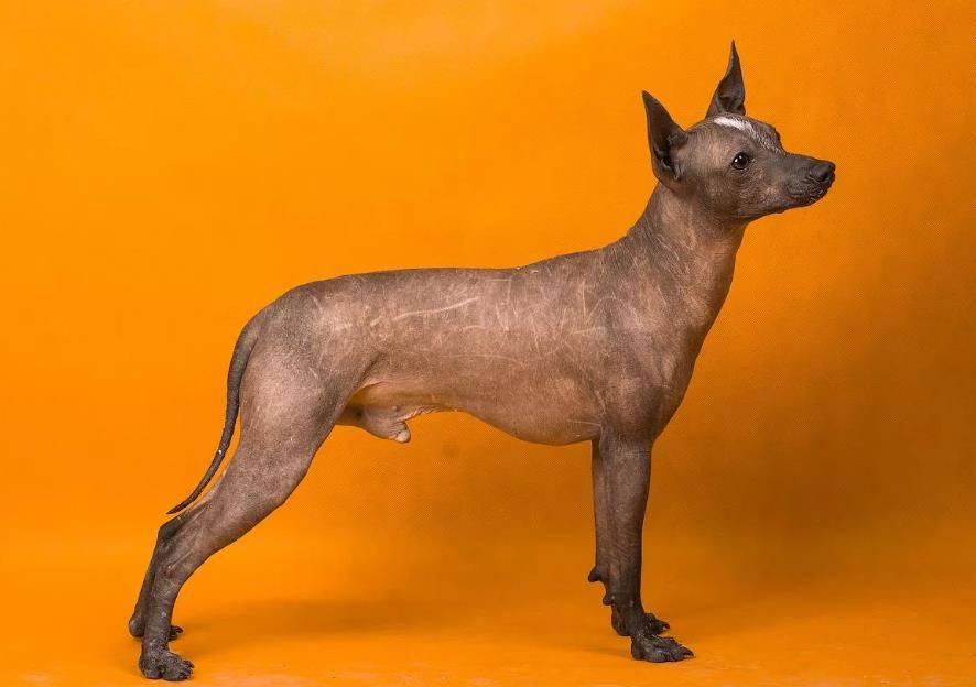 Ксолоитцкуинтли собака. особенности породы. уход за ксолоитцкуинтли