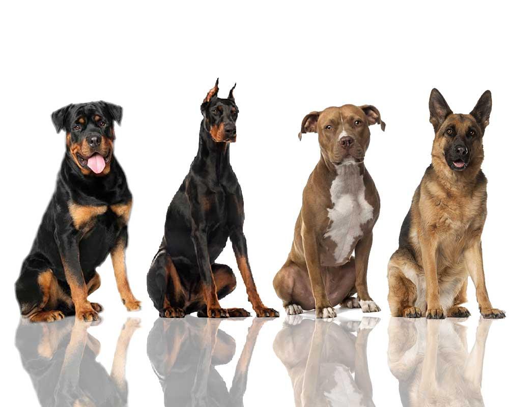10 самых преданных пород собак - рейтинг