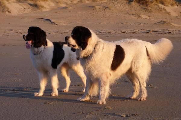 Ландсир: порода собак с именем художника