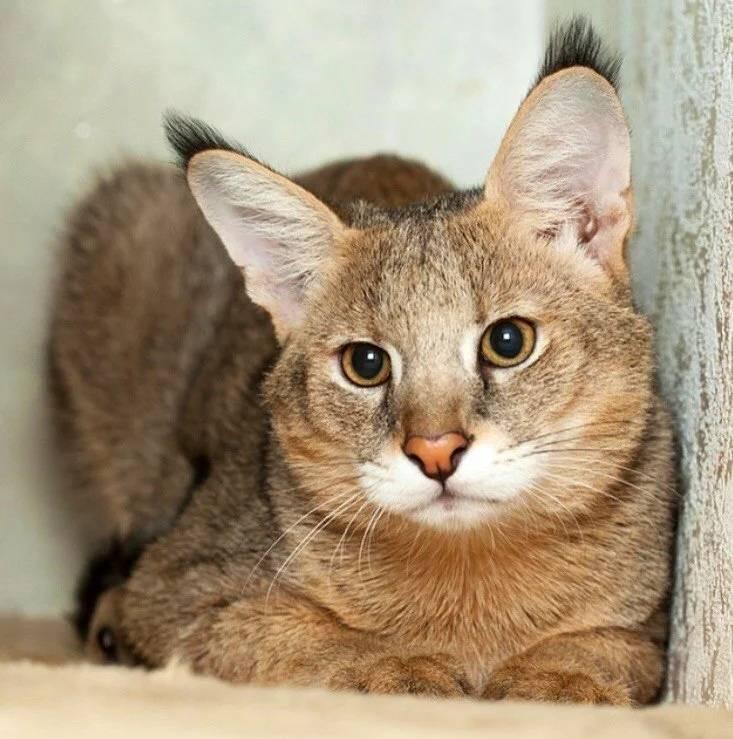 Камышовый кот (хаус): описание, фото, характер, содержание, цена, уход