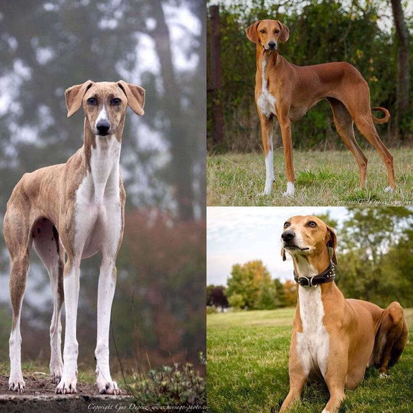 Все о породе собак азавак - описание, характер, характеристика, фото азаваков и видео, цена туарегской борзой