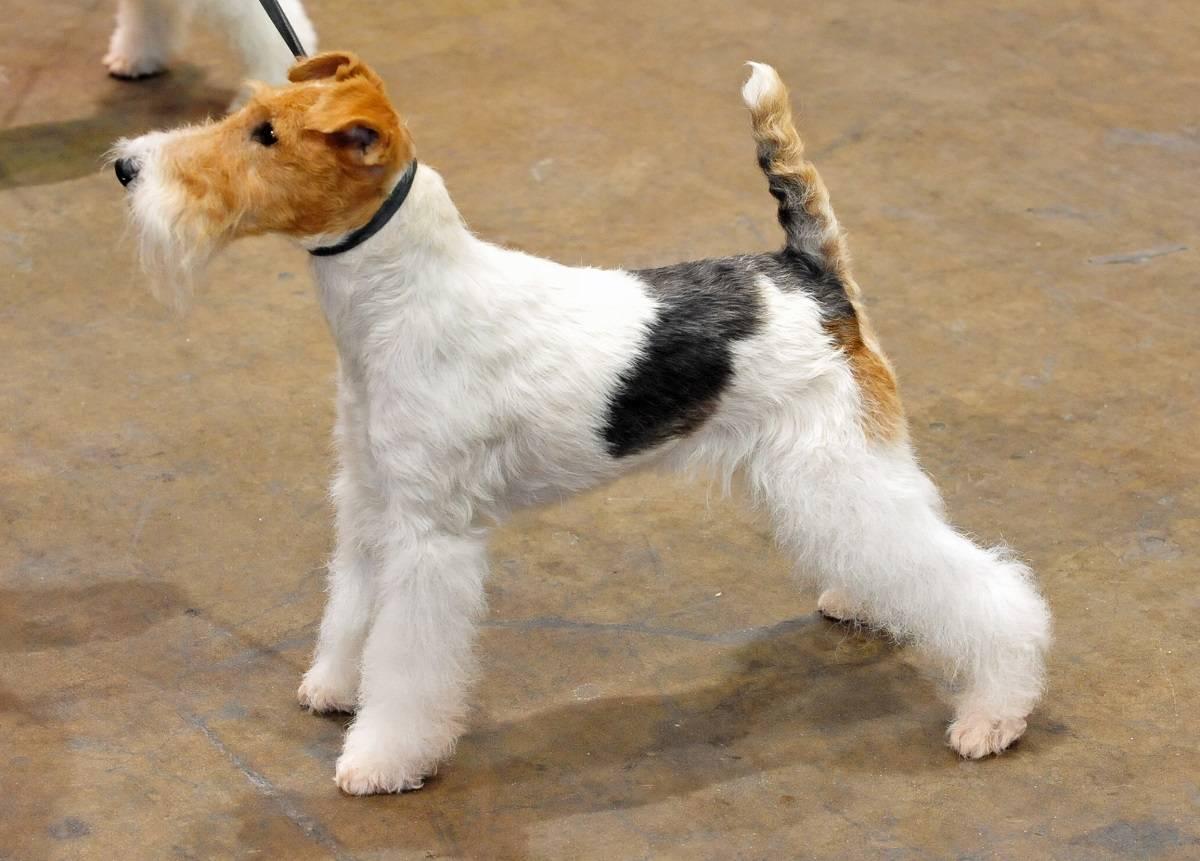 Фокстерьер собака. описание, особенности, уход и цена фокстерьера | sobakagav.ru