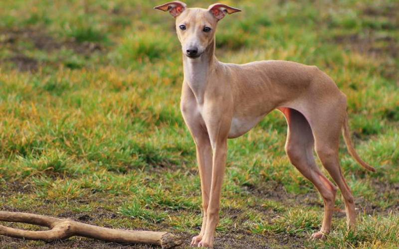 Итальянская борзая левретка: фото собаки, характер и описание левретки
