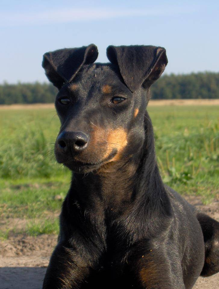 Манчестер терьер собака. описание, особенности, уход и цена манчестер терьера   животный мир