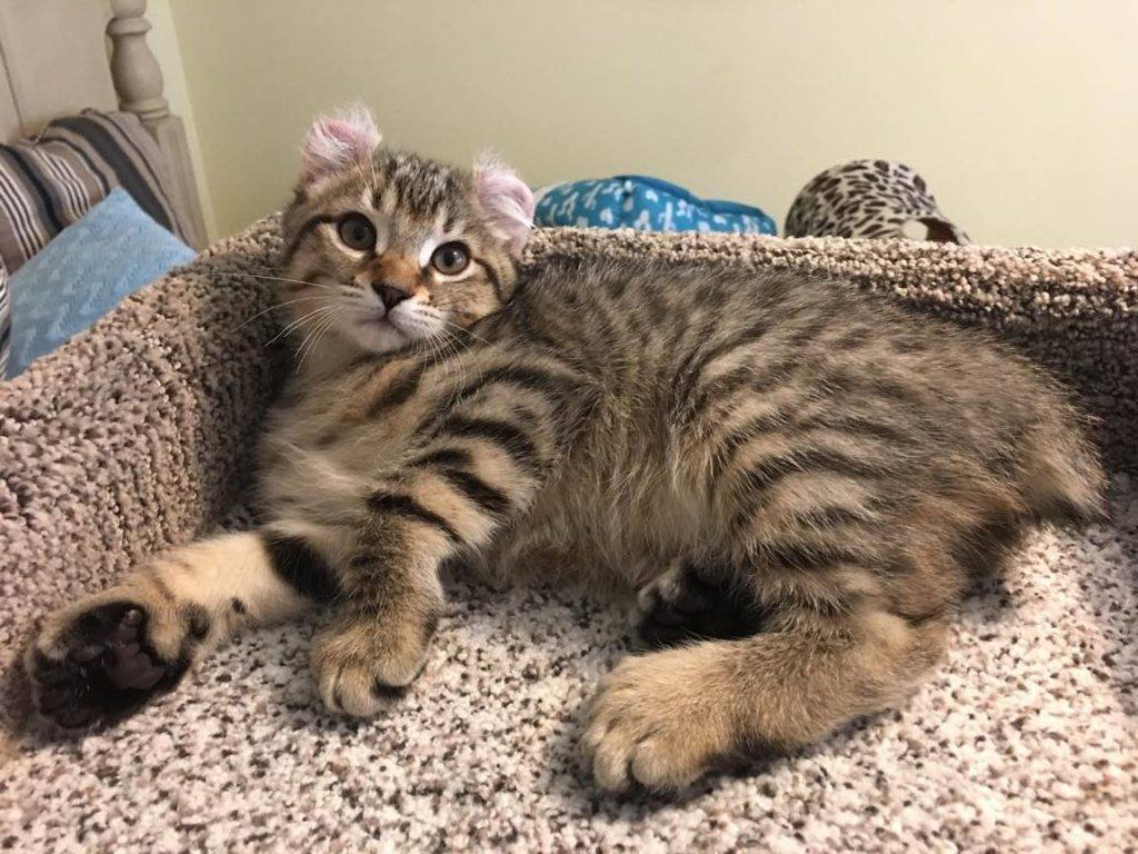 Хайленд фолд (highland fold) кошка: подробное описание, фото, купить, видео, цена, содержание дома