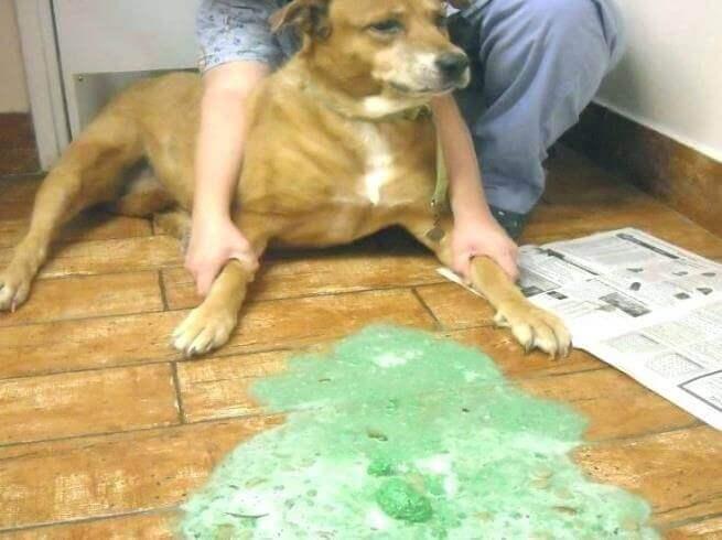 Кровавый понос у собаки - причина и лечение