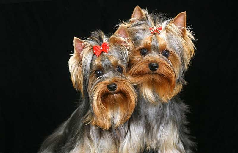 Йоркширские терьеры: описание породы, характер собаки, плюсы и минусы