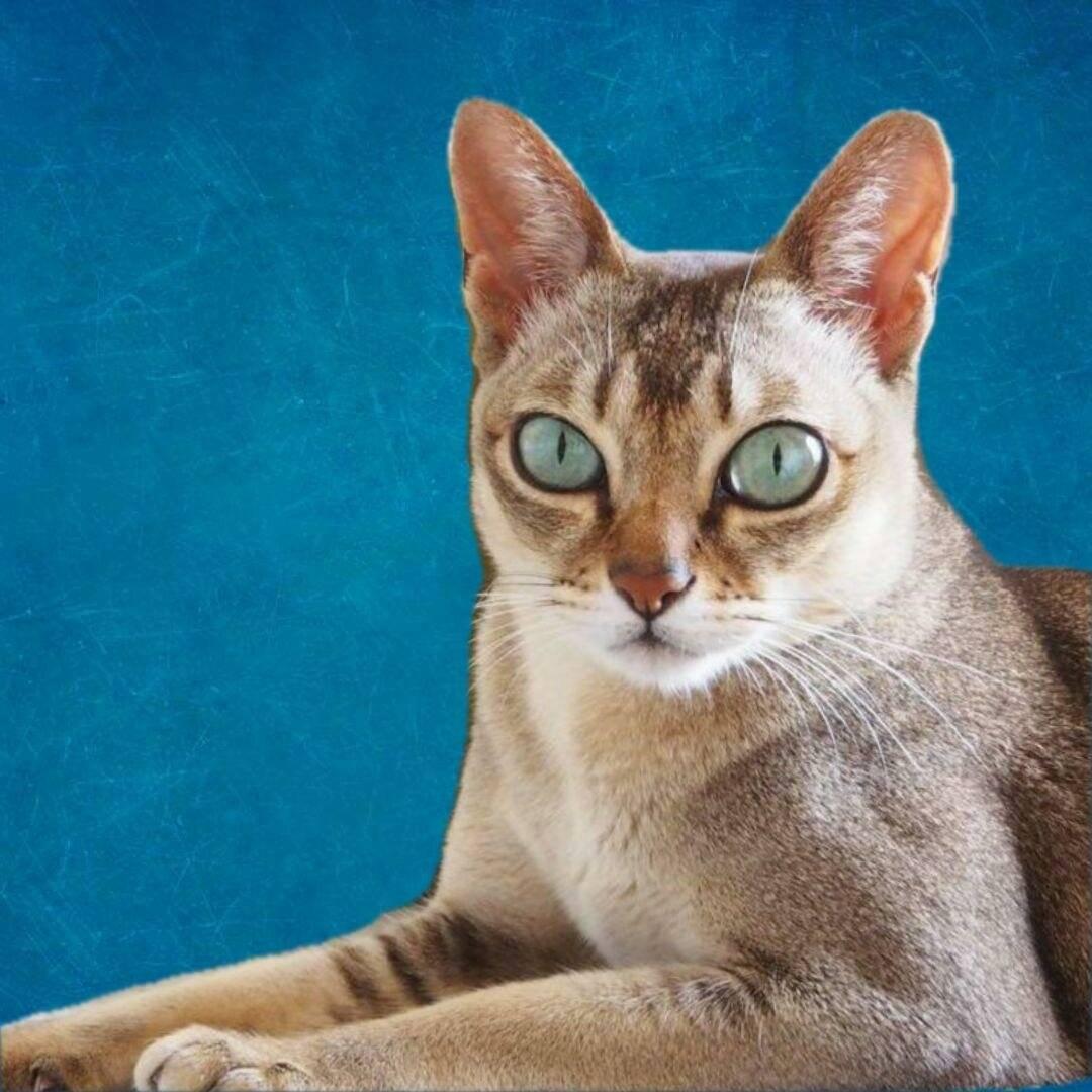 Сингапурская кошка или сингапура: фото, содержание, характер