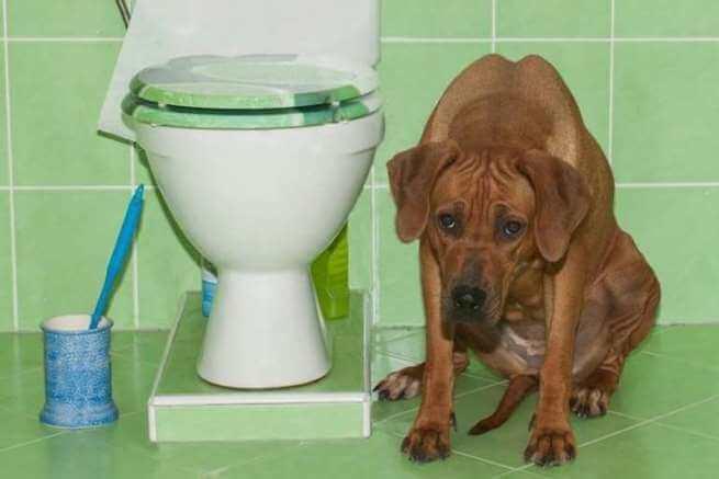 Запор у щенка: причины, симптомы, лечение