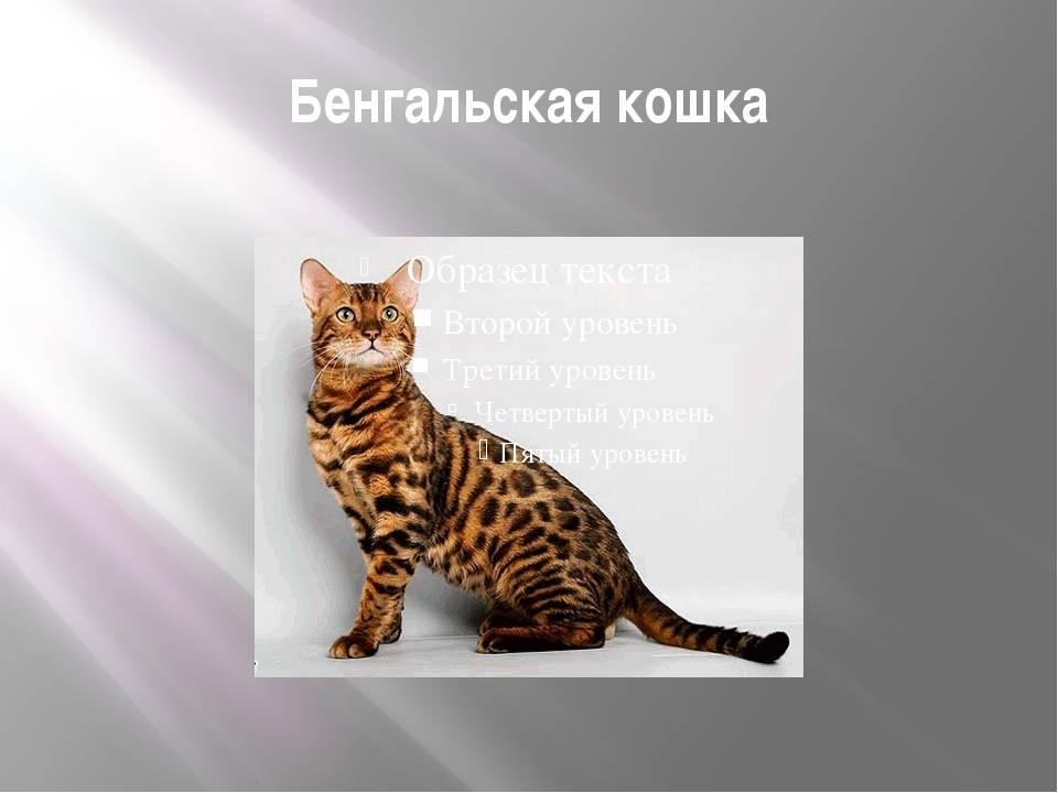 Расцветки бенгалов по номеру (37 фото): коты и кошки угольно-черного и рыжего окрасов, розетка на золоте и другие виды меланистики