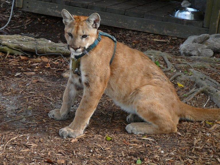 Самая большая кошка в мире и крупные породы с фото с названиями