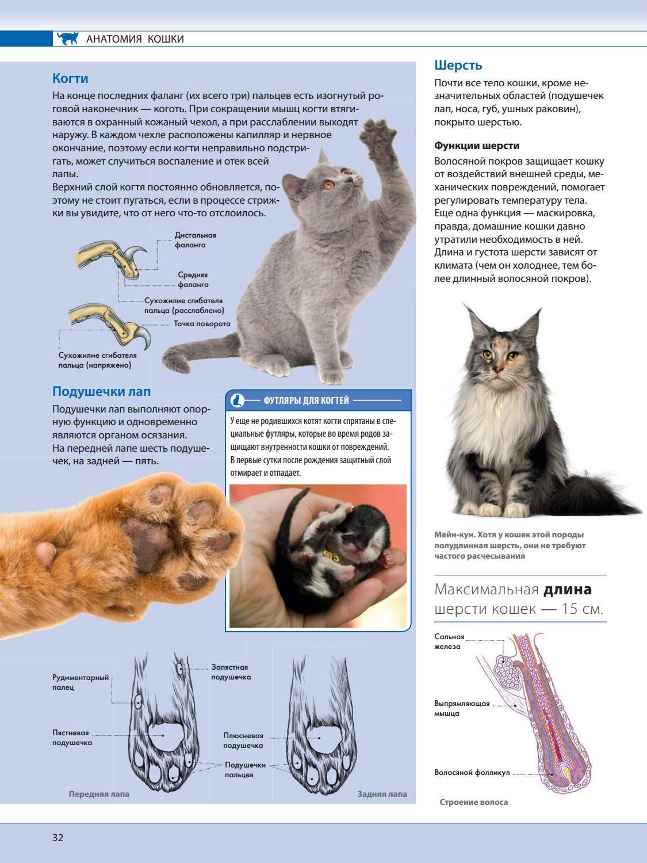 Пальцы у кошек: сколько когтей у котов на задних и передних лапах? какие функции они выполняют?