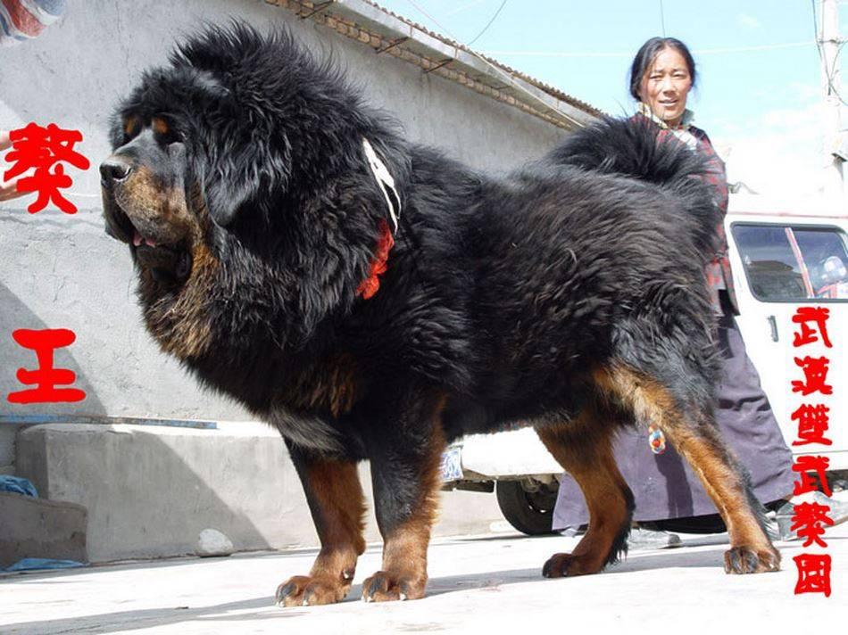 Тибетский мастиф самая большая, вес, разиеры