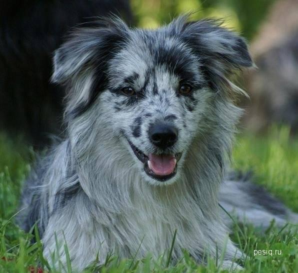 Одна из лучших охранных пород – большой пиреней или пиренейская горная собака