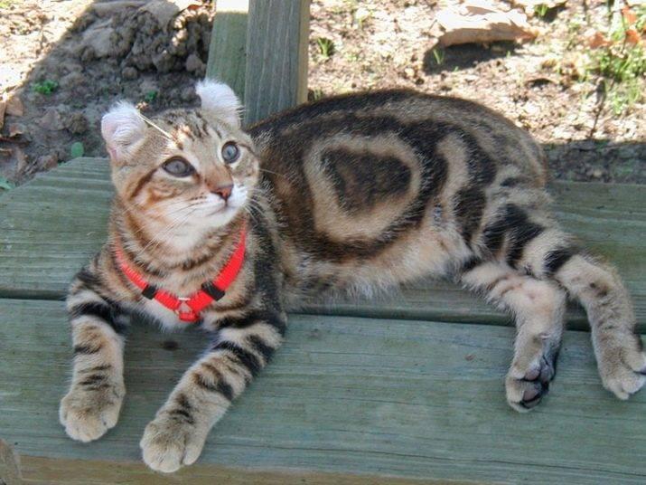 Британская длинношерстная кошка: фото, цена котенка, описание породы и характер
