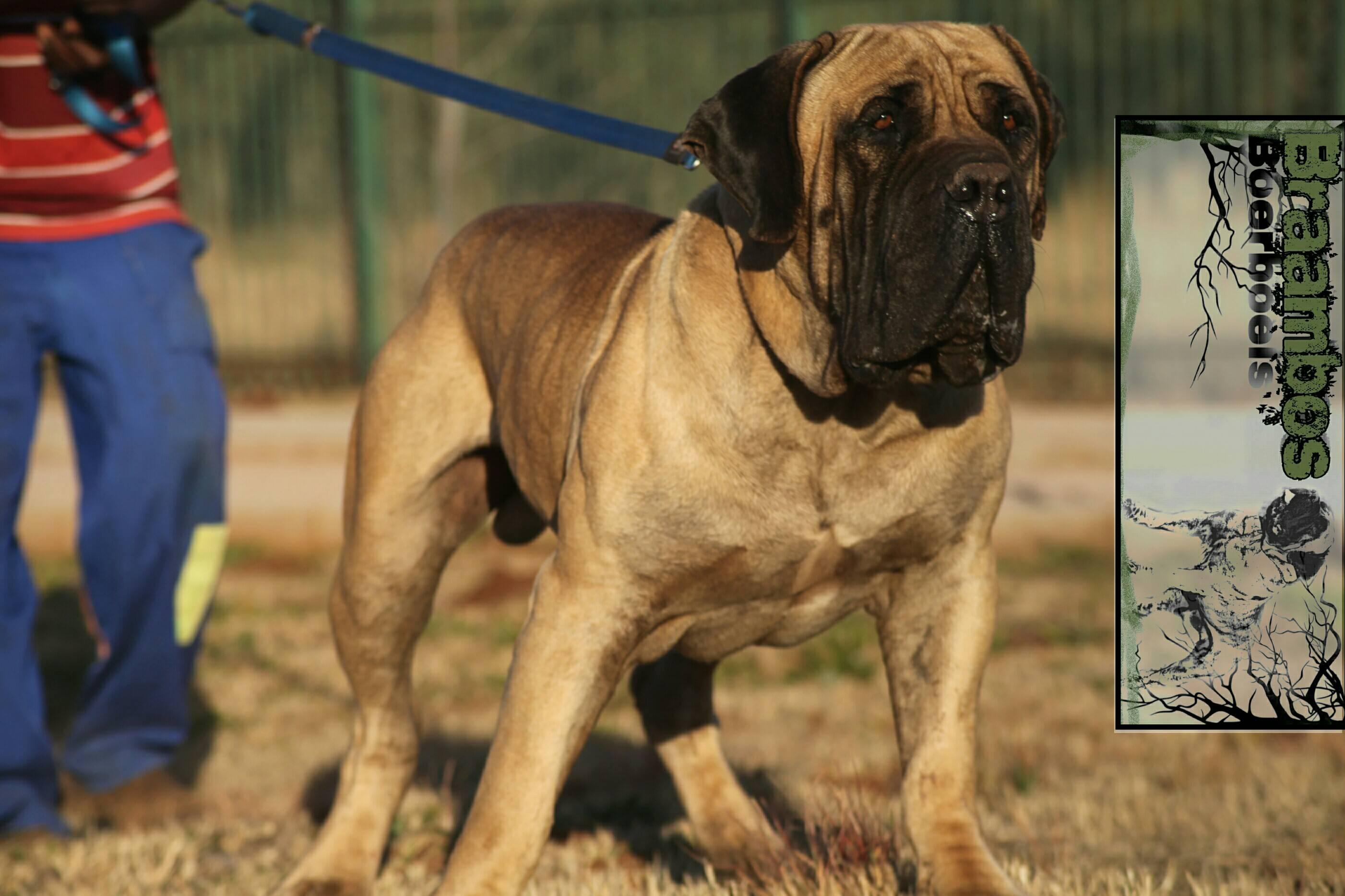 Бурбуль южноафриканский: описание породы с фото собаки, особенности ухода и разведения