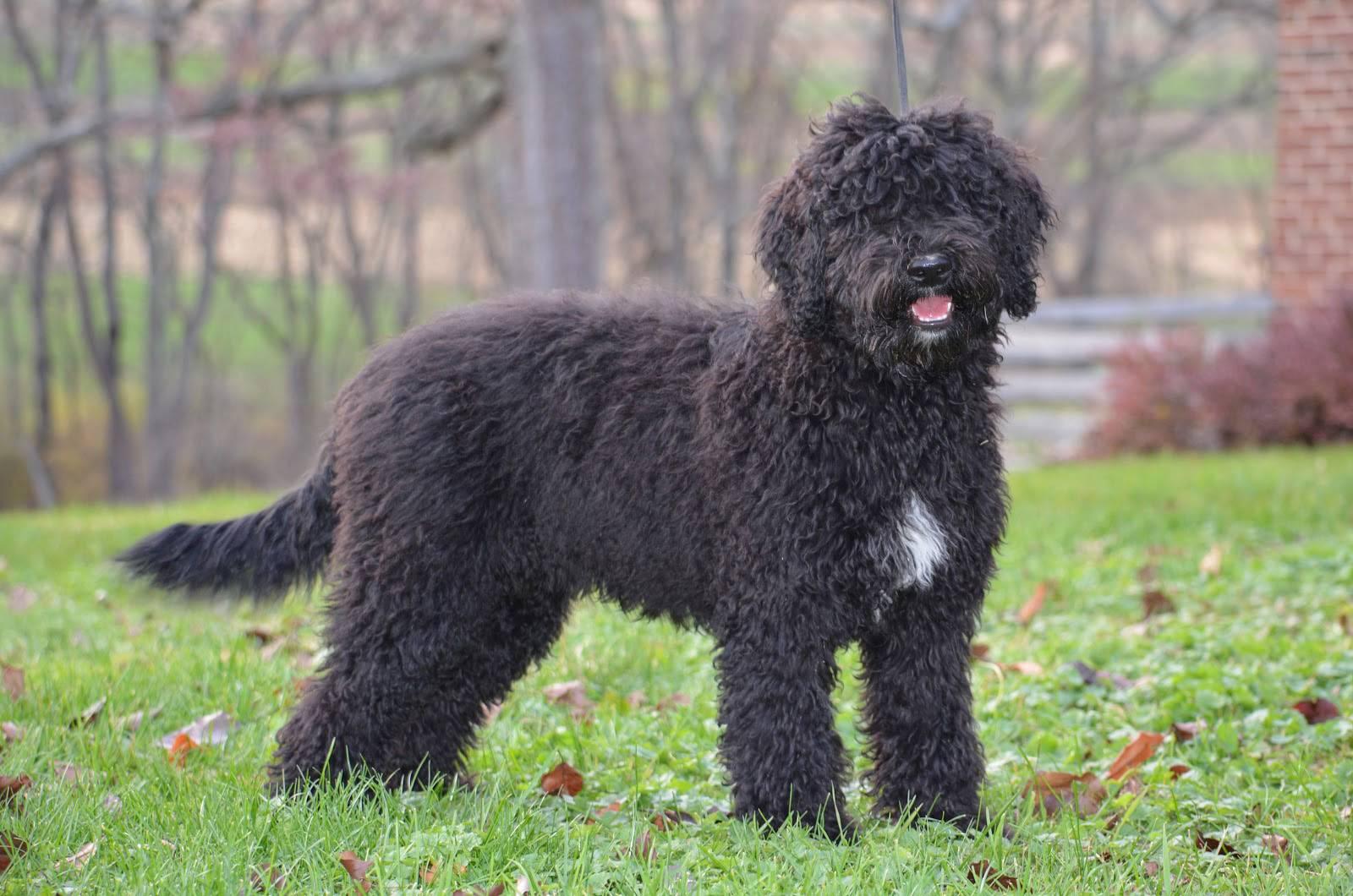 Испанская водяная собака: описание породы собак с фото и видео