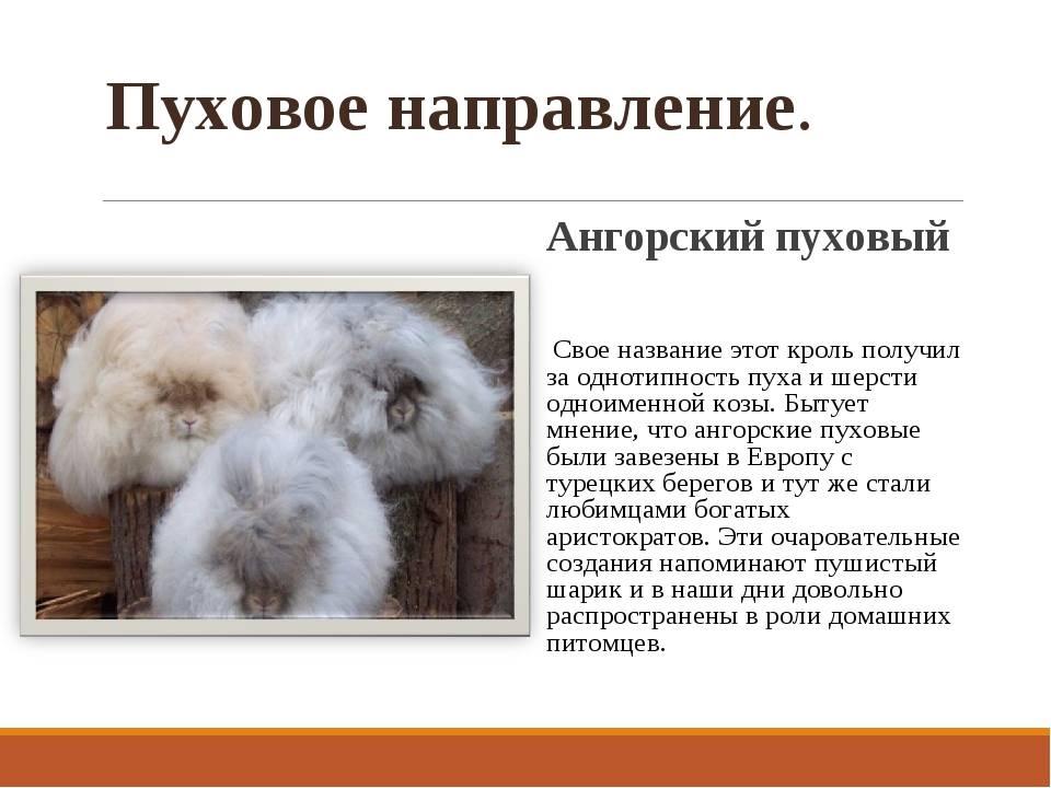 Ангорский кролик: описание породы, содержание, особенности разведения и фото