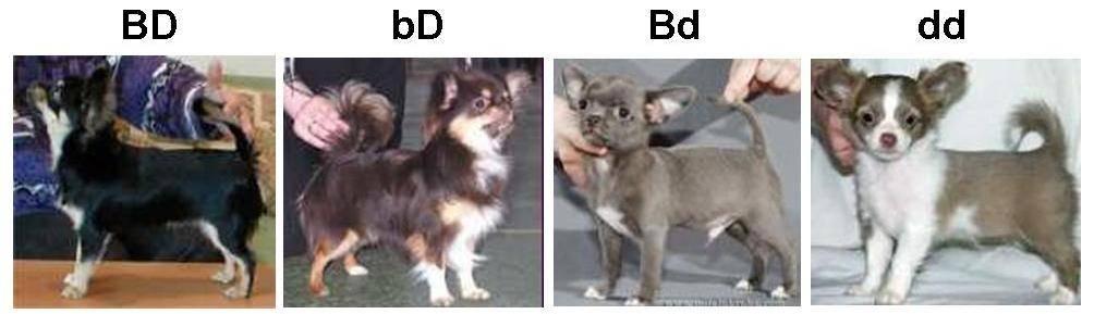 Чихуахуа собака. описание, особенности, уход и цена чихуахуа