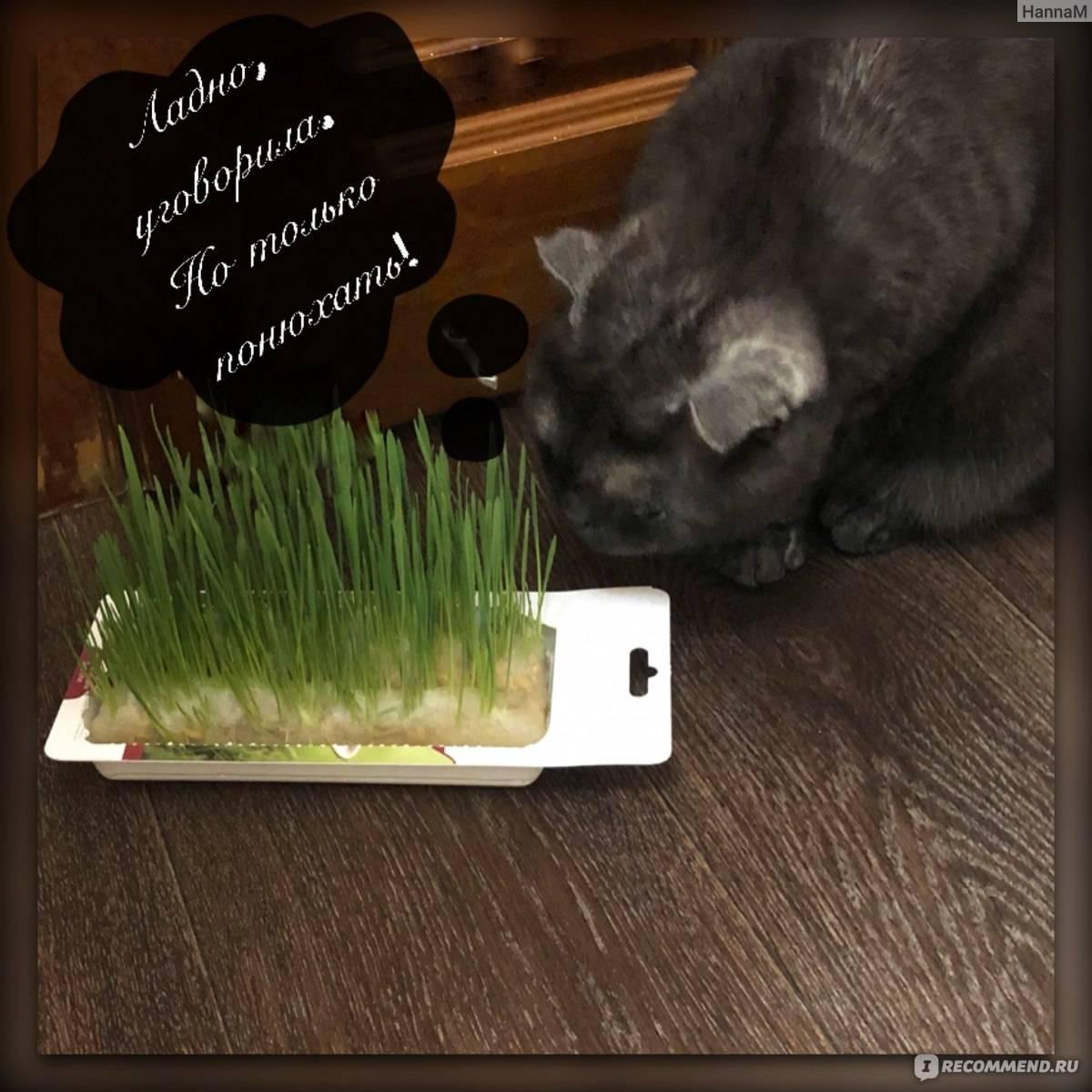 В чем необходимость наличия в рационе травы для кошек и как ее вырастить