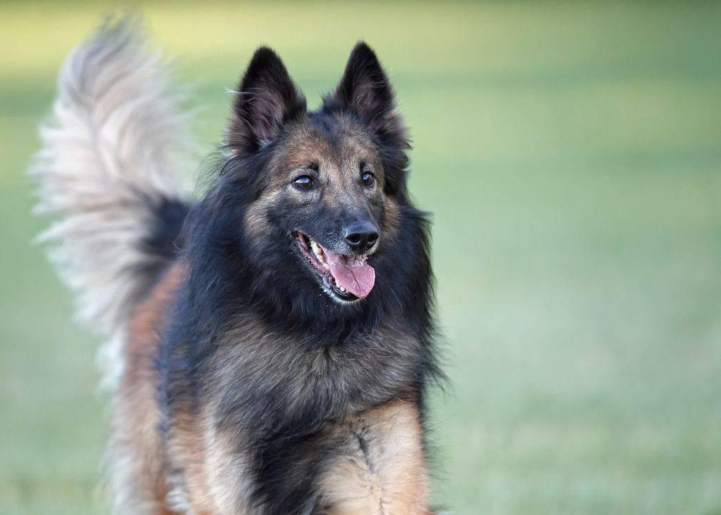 Собаки породы тервюрен - описание от а до я. фото, отзывы, цена щенков, характер, история