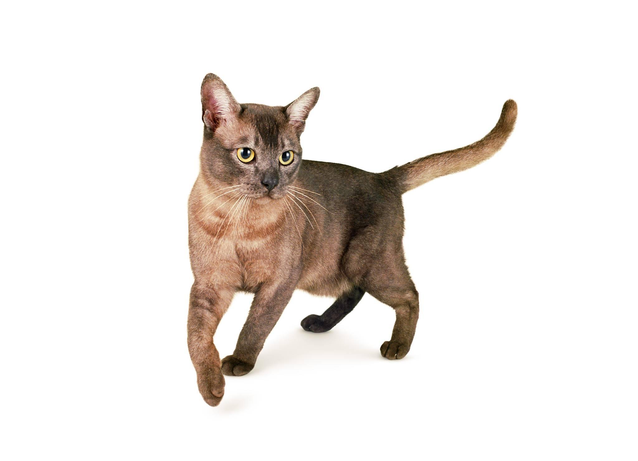 Японские породы кошек и котов с фотографиями и названиями | картинки