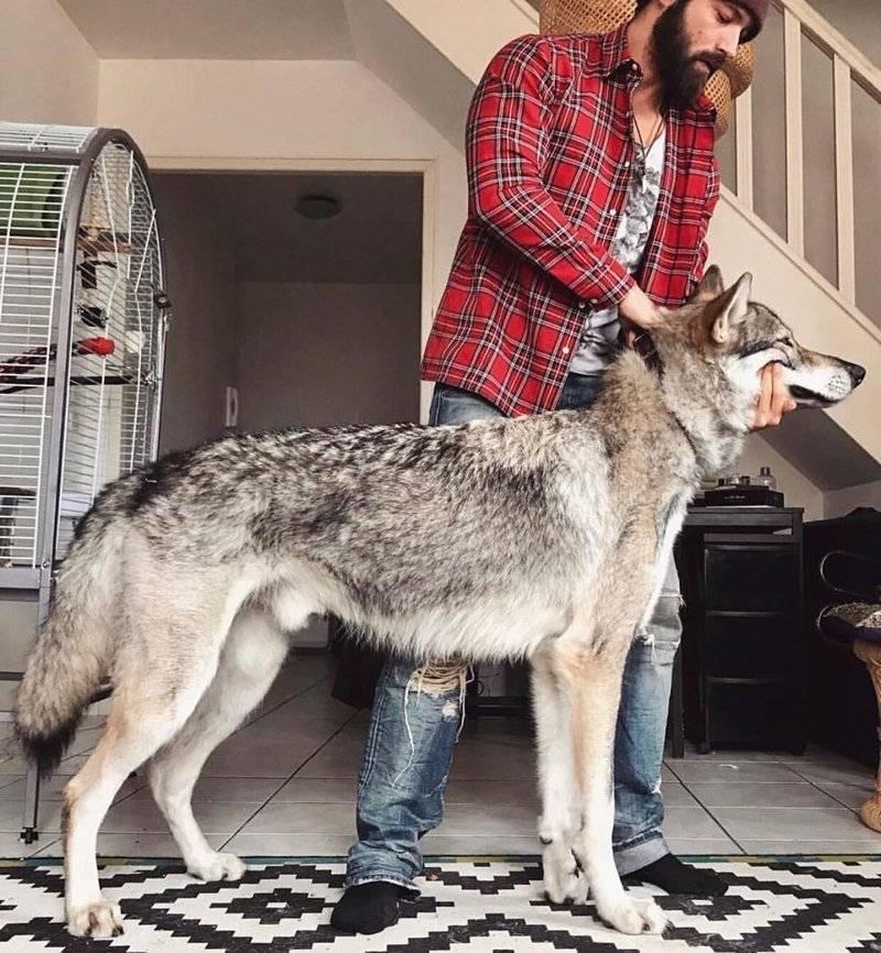 Описание породы, полученной скрещиванием собаки и волка