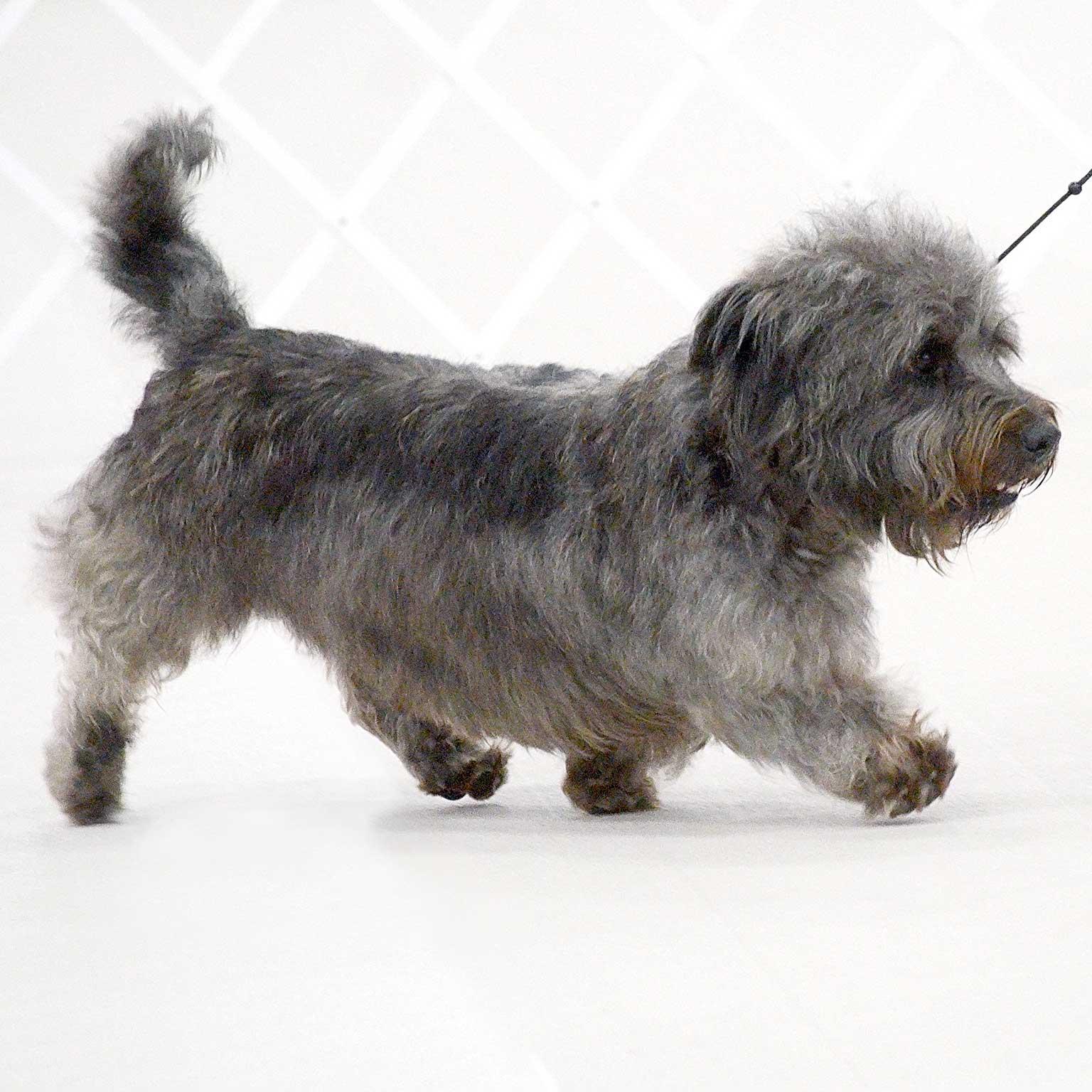 Глен оф имаал терьер: стандарт породы с фото собаки, особенности ухода и разведения