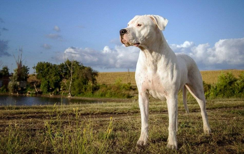 Аргентинский дог: все о собаке, фото, характер, уход, дрессировка