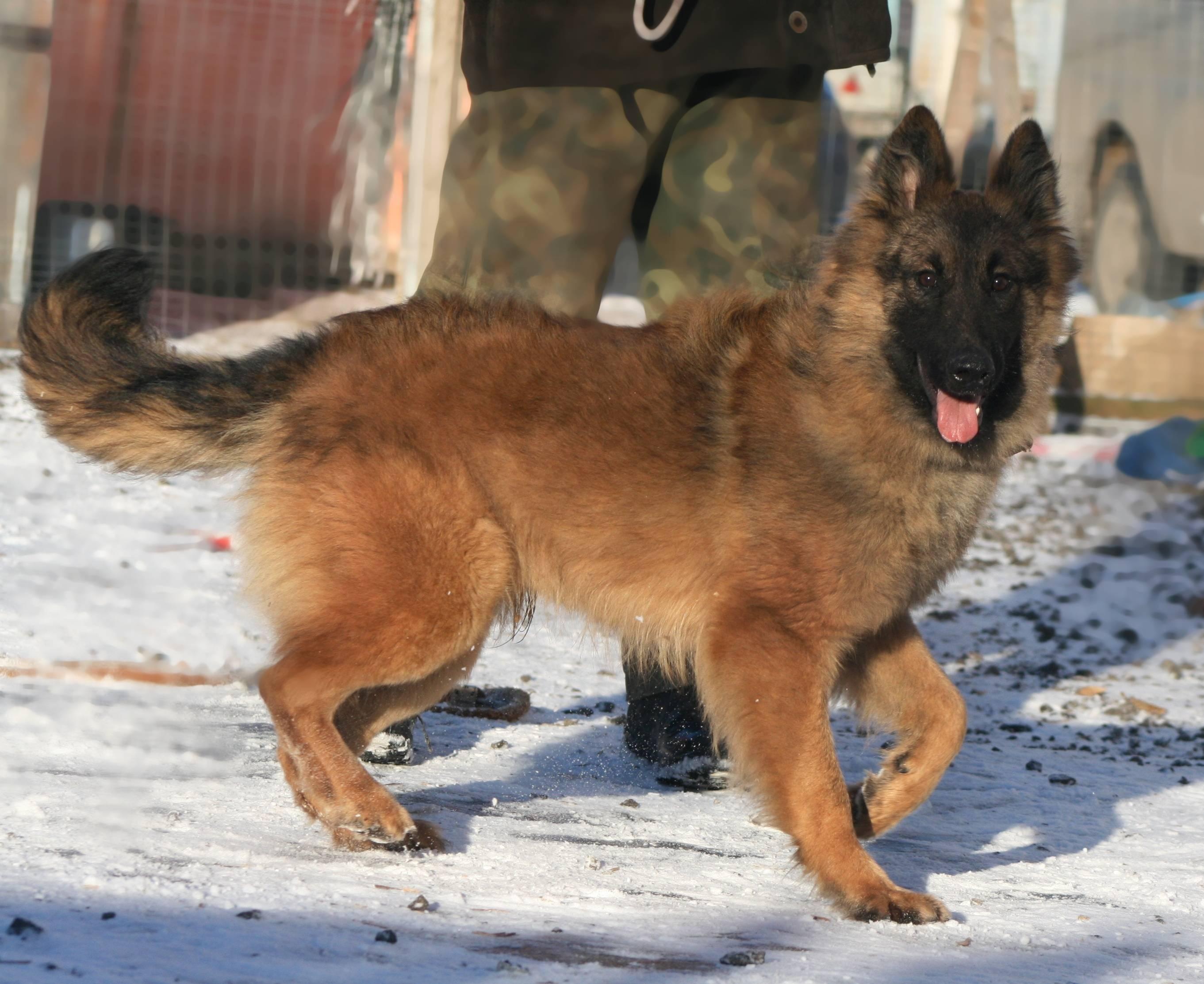 Бельгийская овчарка - описание и характеристики собаки, уход и содержание в домашних условиях