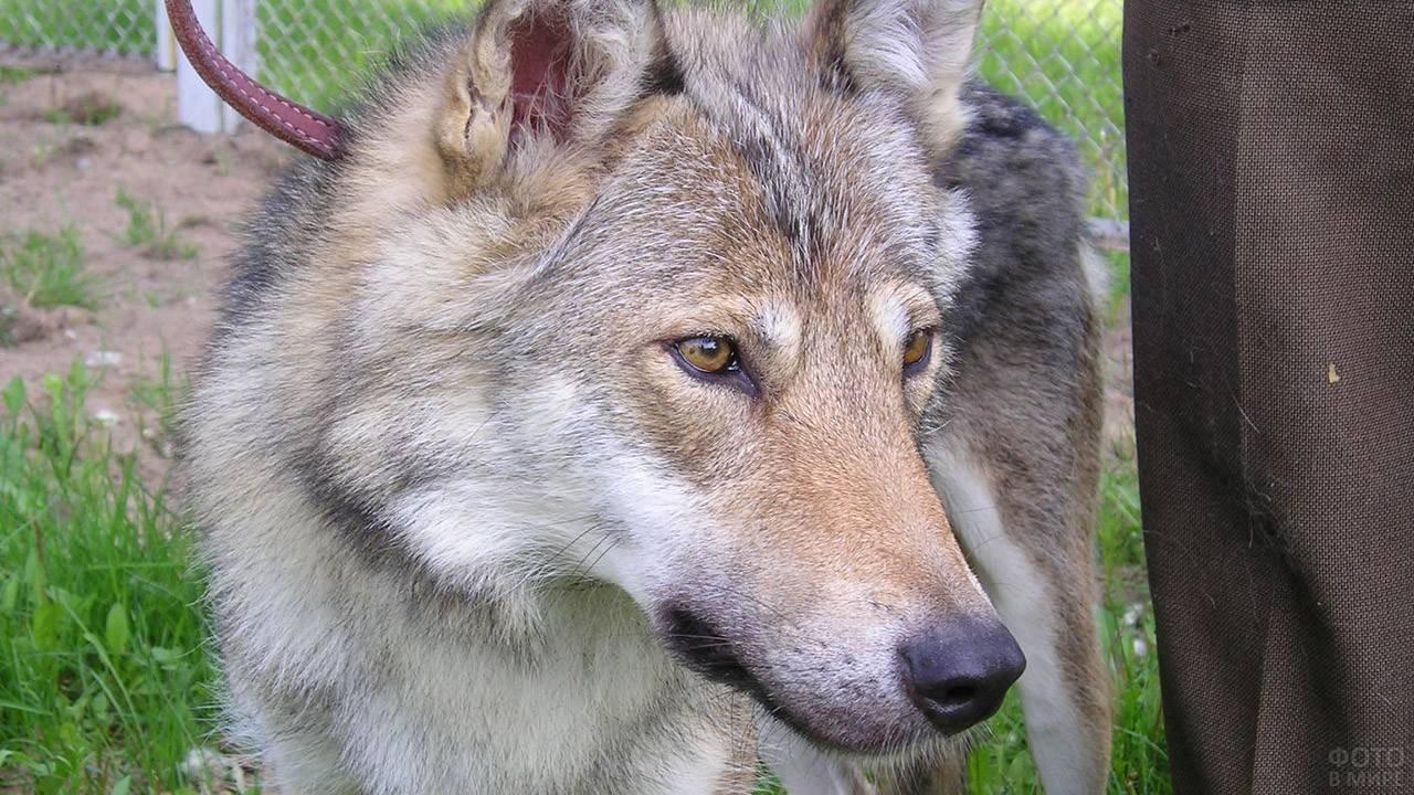 Характеристики пород собак, похожих на волков